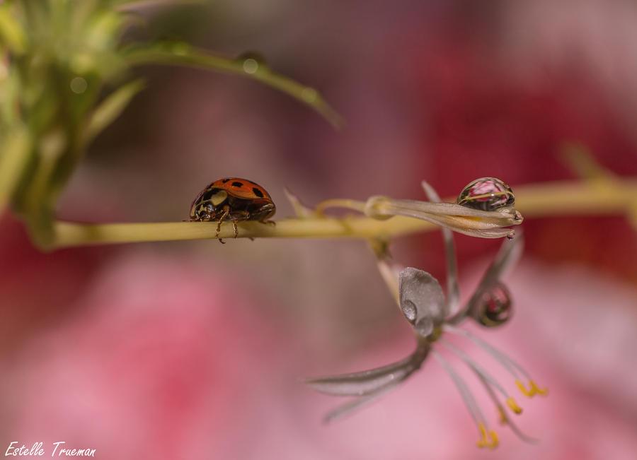 Ladybird by needcaffine