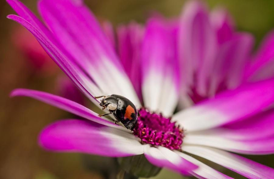 Harlequin Ladybird by needcaffine