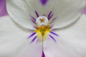 Dandelion Viola by needcaffine