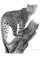 African Leopard_2 by PittuMcflurry
