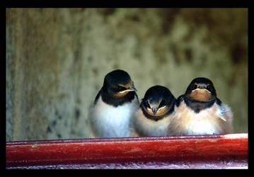 Swallows I
