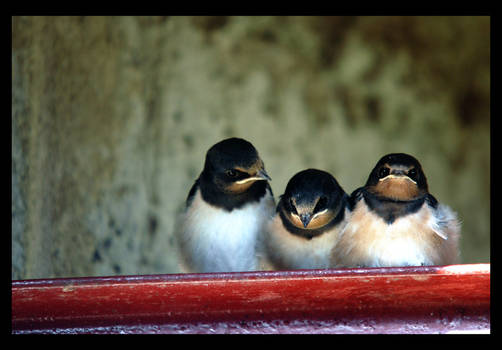 Swallows I