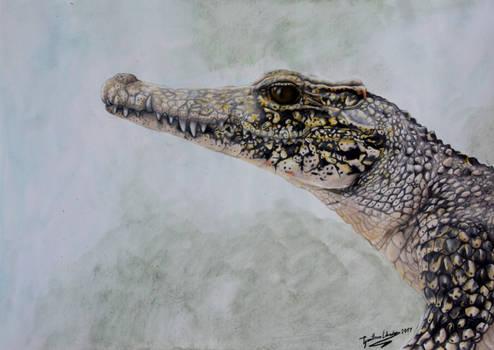 Cuban Crocodile (Crocodylus rhombifer)