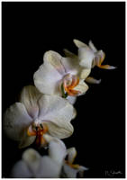 Burning Orchid. by marc-bruno