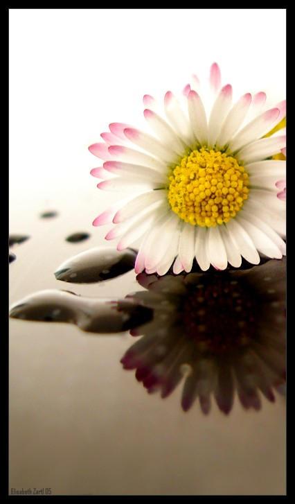 daisy by libelle