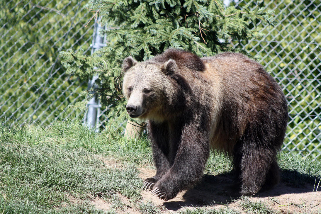 Grizzly bear walking - photo#3