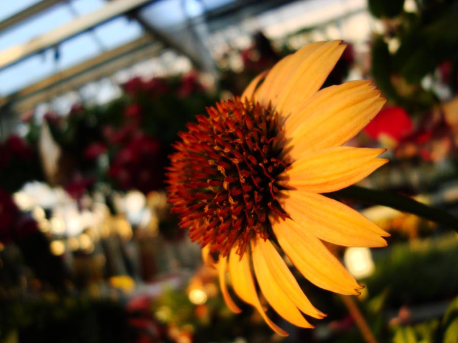 flower _color_ by lilrockergrl56
