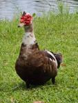 STOCK - Duck 2 by Whisper292