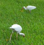 STOCK - Egrets by Whisper292
