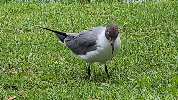 STOCK - Black-Headed Gull