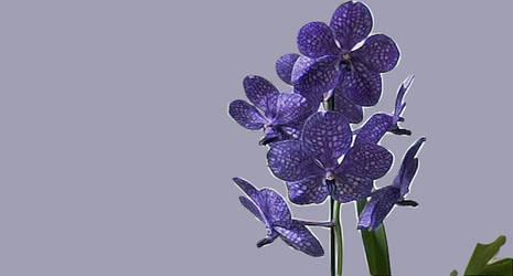 Orchid Print of Princess Mikasa