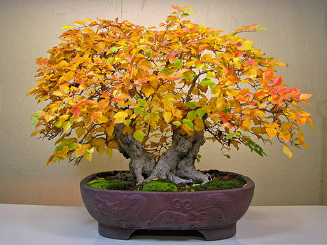 Autumn Bonsai