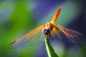 Dragonfly 11 by josgoh
