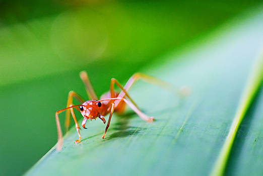 Red Ants 03