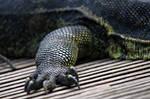 Legs Of Monitor Lizard