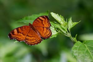 Butterfly 09 by josgoh