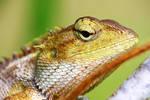 Iguana 06