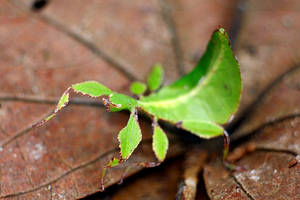 Leaf Insect 01 by josgoh