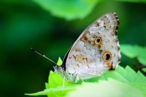 Butterfly 21 by josgoh