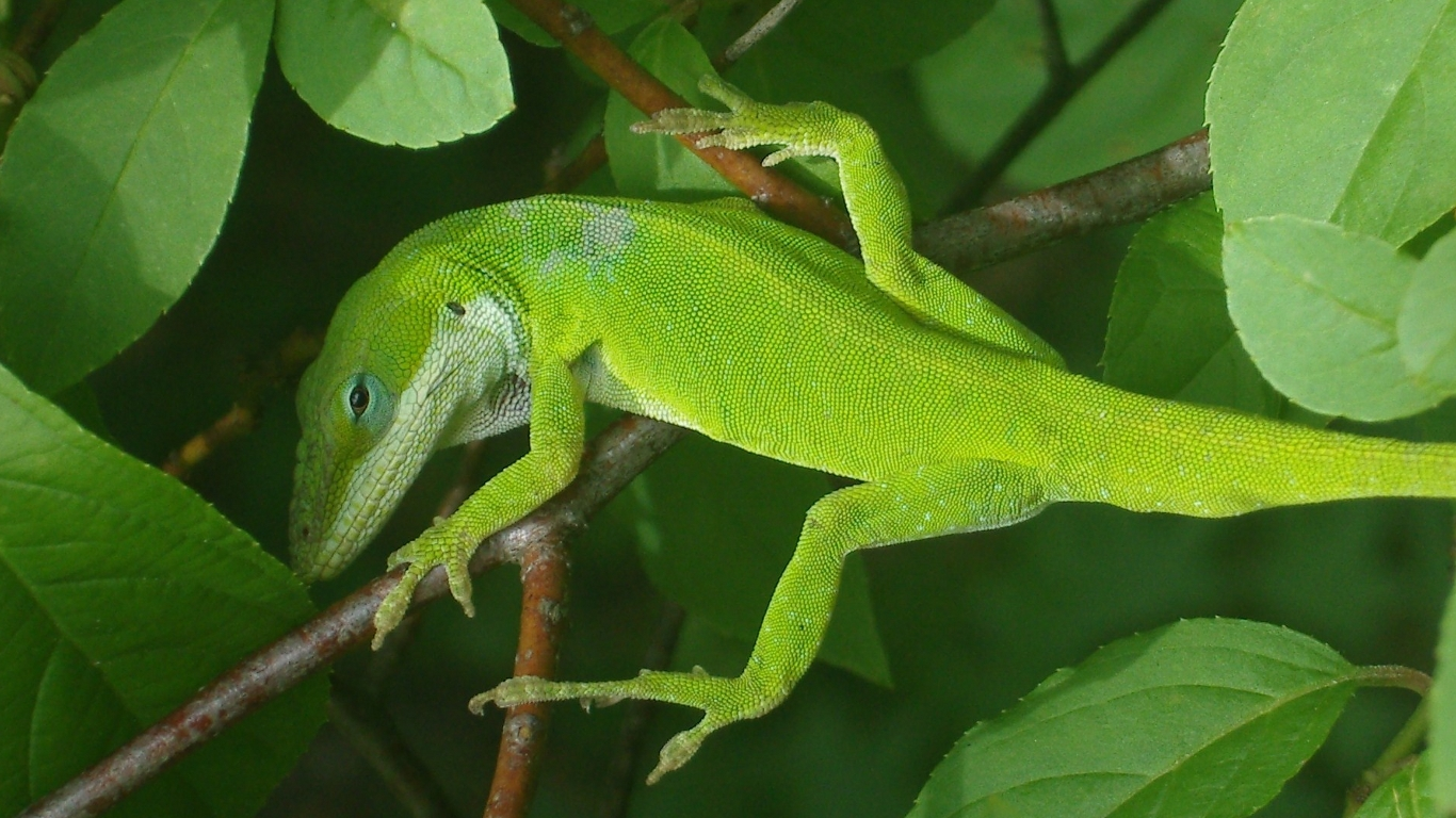 http://fc08.deviantart.net/fs46/f/2009/163/9/f/Green_Anole_Wide_Screen_by_1389AD.jpg