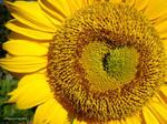 Sunflower Love by xSakuraSyaoranx