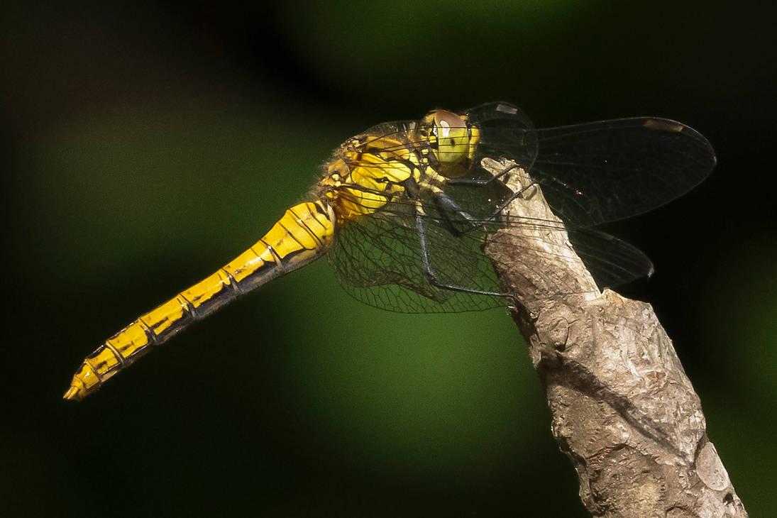 (female) Ruddy Darter - Sympetrum sanguineum 01