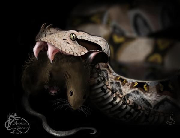 Gaboon viper victim