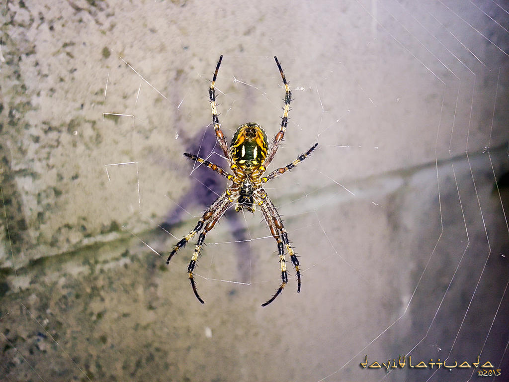Spider by chanyto