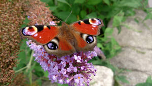 Closeup Peacock Butterfly by PatrickJr