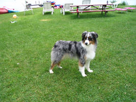 Australian Shepherd 6 by SunnyBlueDay