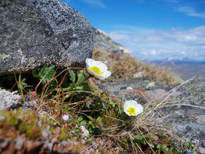 Mountainflower 2