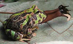 Frog Vore 14