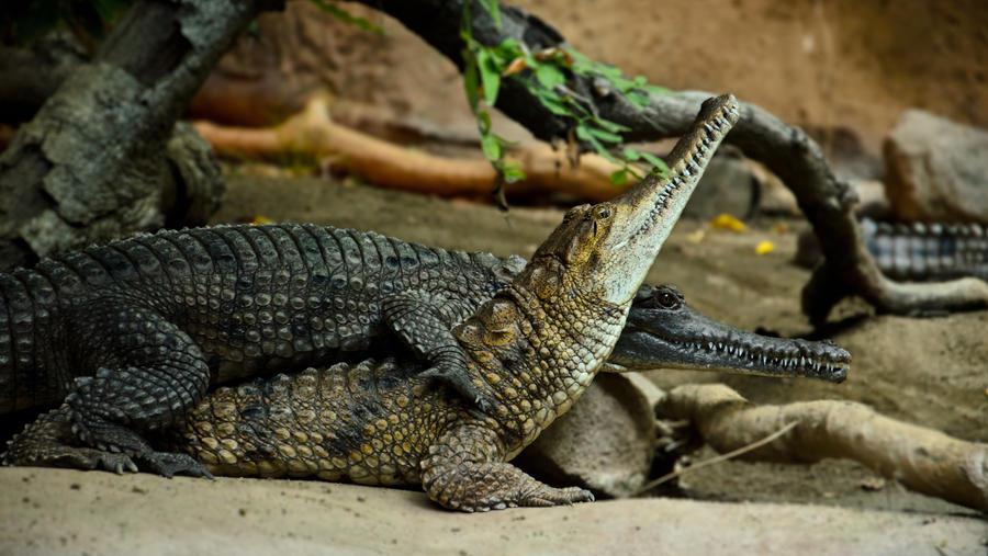 Crocodilian Friendship by Tyrannax