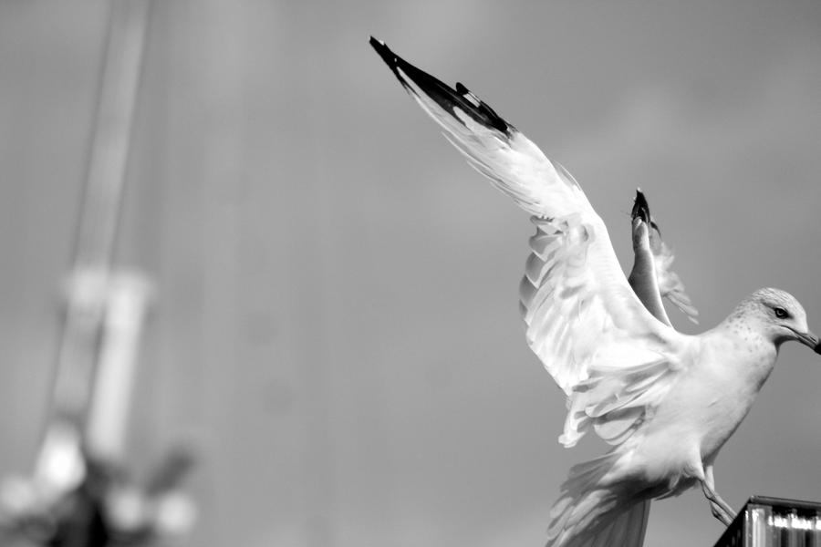 Seagull by Atenodor