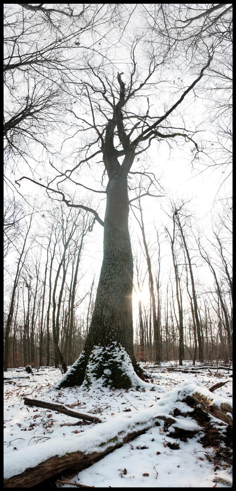 Winter Oak by Hluthvik