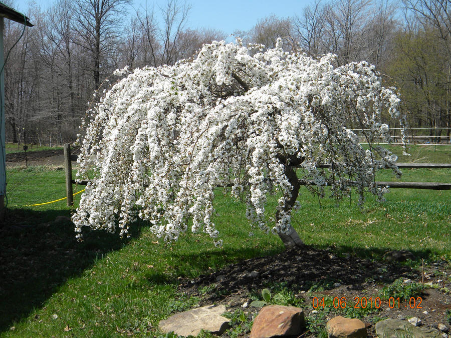What does a dogwood tree look like