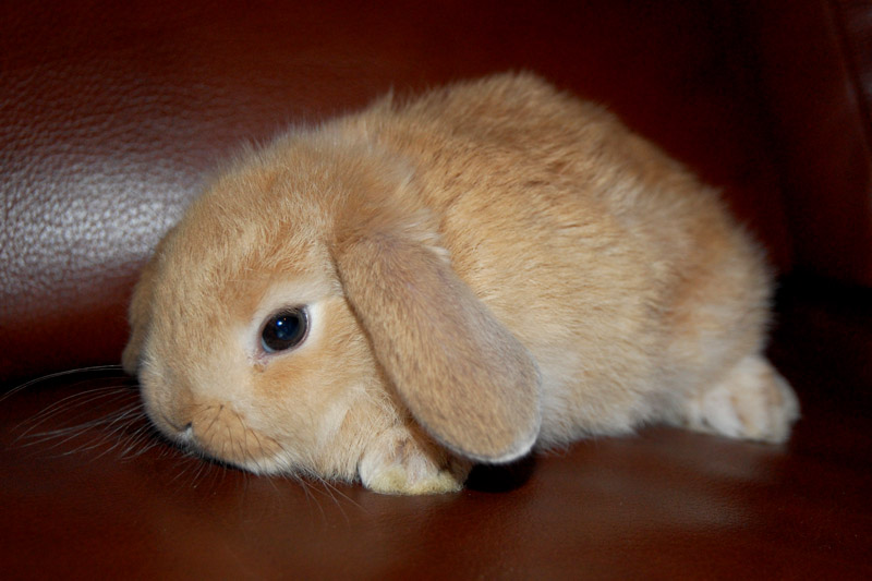 Baby lop eared rabbit - photo#12