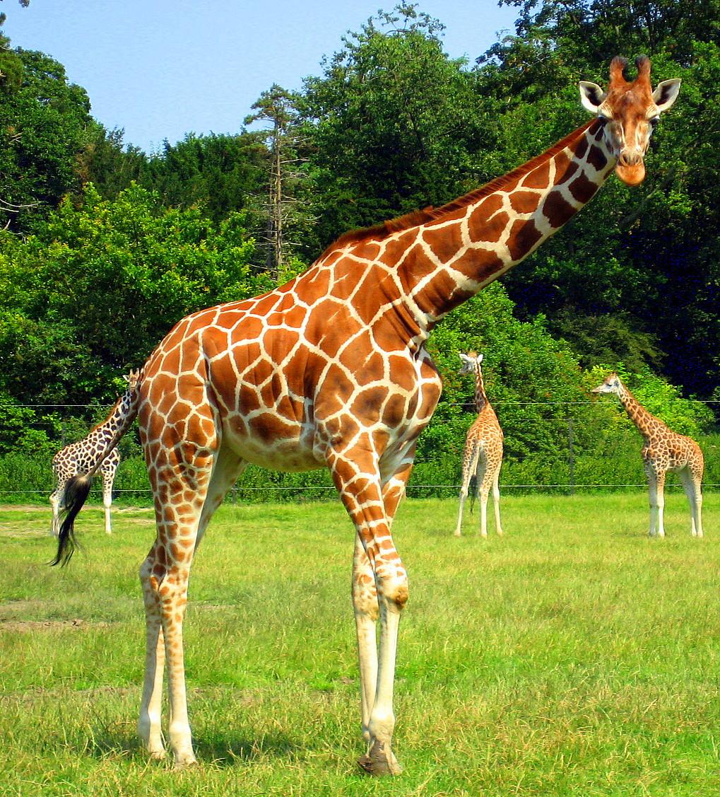 Giraffe. by belvi