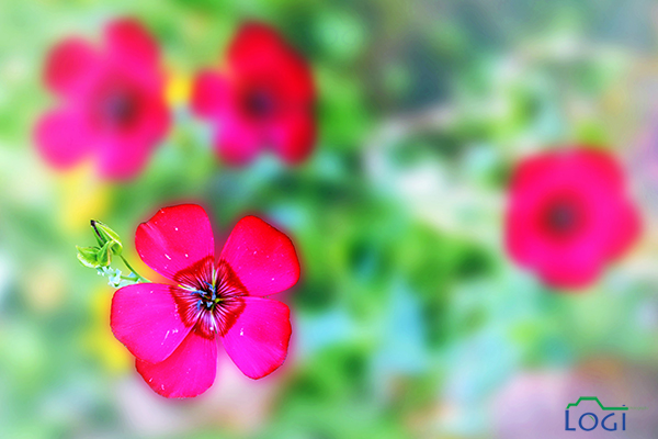 pink flowers by lojein