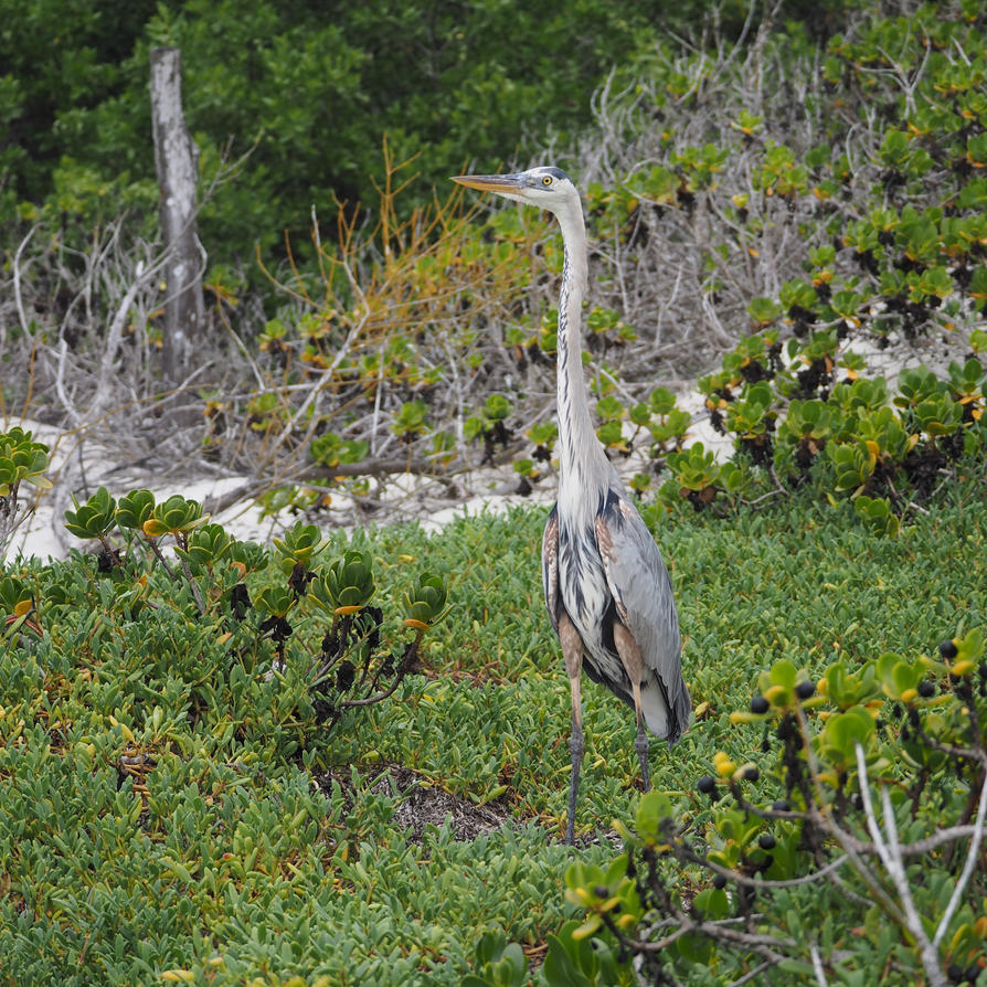 heron in the mangrove by wam17