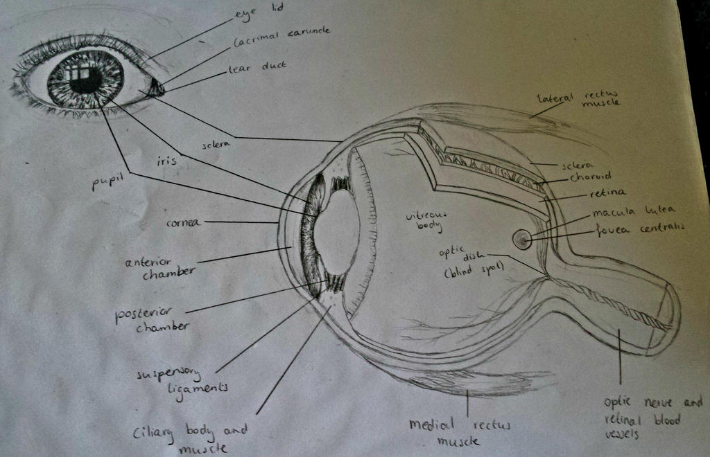 Eye Anatomy Study by Lmiris