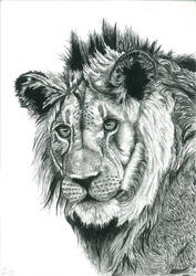 Lion of Contrast
