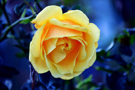 Yellow Rose 08.10.2020