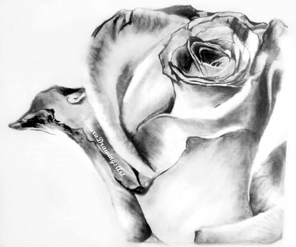 Rose by Laura-Drawings-Art