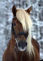 Finnish horse stallion by floCha