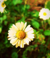 white and yellow. by KCELphotography