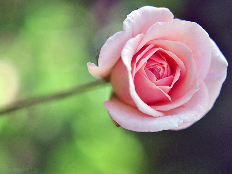 rosa 3 by turulato