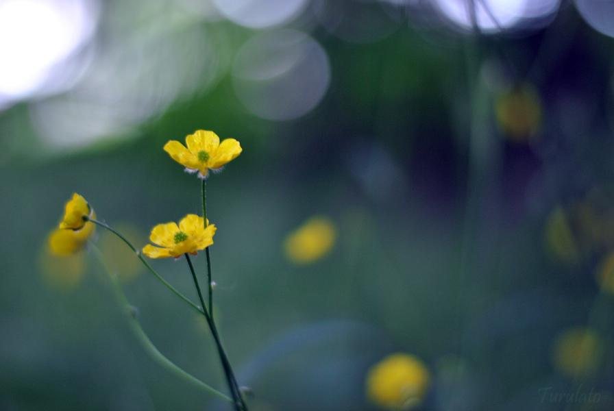 yellows by turulato