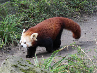 Red Panda by TheEmpatheticCat