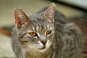 Greyish Tabby by TheEmpatheticCat